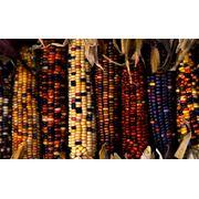 Семена кукурузы от производителя фото