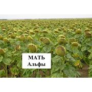 Семена подсолнечник Мать Альфы фото