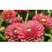 Саженцы хризантемы Шаровидная хризантема (мультифлора) Саженцы цветы многолетние фото