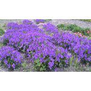 Фіалка рогата - багаторічна садова рослина (біла і фіолетова) фото