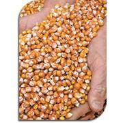 Гибриды кукурузы фото