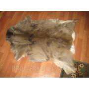 Шкура карпатской косули дикой (карпатский олень) фото