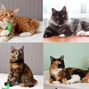 Полудлинношерстные котята Курильского бобтейла фото