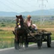Прокат одиночной упряжки лошадей фото