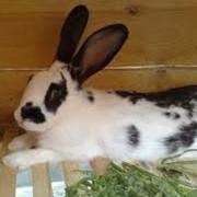 Шкура кролика фото