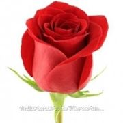 Розы поштучно фото