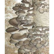 Засеяные блоки вешенки Гибридом SN 010015 Урожайность 4-4,5 кг/2 волны, 4,5-5,0 кг — 3 в Вес 9-10 кг