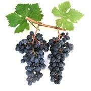Саженцы винограда винных сортов Каберне Совиньон, Крым, продажа фото