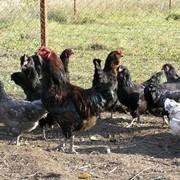 Яйцо инкубационное Амераукана (пасхальная курица) фото