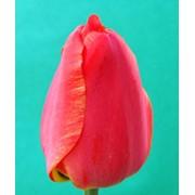 Луковицы тюльпана. Парад для выгонки. фото