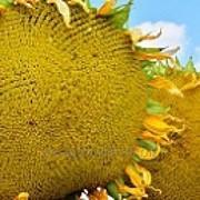 Семена подсолнечника Воронежский 638 РС1 фото