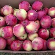 Молодые яблоки фото