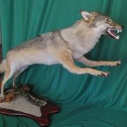 Изготовление охотничьих трофеев фото