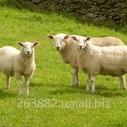 Овцы для развода фото