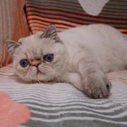 Синеглазая экзоточка (котенок EXO SH) фото