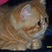 Котенок экзотический короткошерстный фото