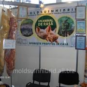 Гибрид свиньи в Молдове фото