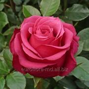 Роза сорта Черри фото