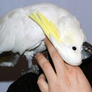 Какаду желтохохлый, какаду белохохлый, молуккский какаду фото