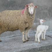 Овцематка, Меринос Асканийский фото
