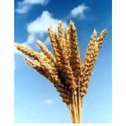 Пшеница, производство зерновых и масленичных культур фото