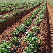 Картофель тульский фото