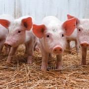 Корм лечебный для промышленного производства свинины Лактобифадол фото