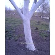 Побелка деревьев в саду фото