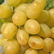 Виноград ранний фото