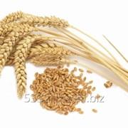 Пшеница 5 класса фото