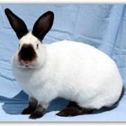 Кролики калифорнийской породы фото