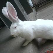 Племенные кролики фото