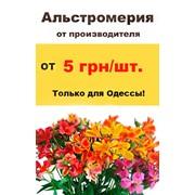 Цветы срезанные Альстромерия от производителя оптом фото