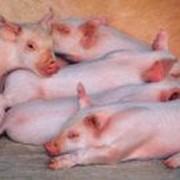 Свиноводство фото