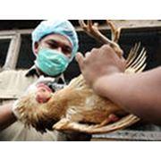 Вакцины для птиц фото