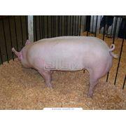 Вакцины от рожи, вакцины для свиней, вакцины для свиней Белая Церковь, комплексные вакцины для свиней фото