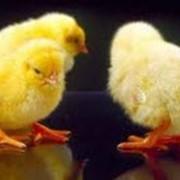 Цыплята подрощенные оптом и в розницу Венгерской породы: Мастер чик фото