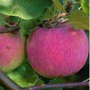 Саженцы яблони сорт Мекинтош фото