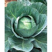 Продам капусту белокочанную фото