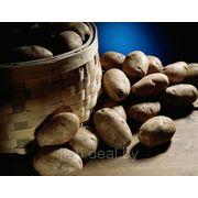 Продажа белорусского картофеля оптом фото