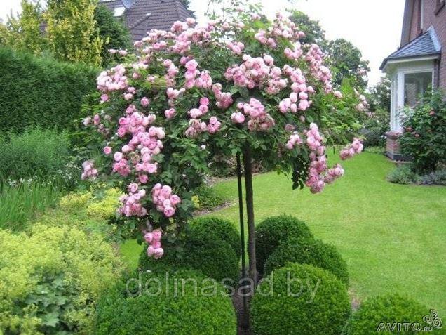 Купить штамбовую розу в минске