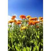 Цветы календулытравы лекарственныекалендула лекарственная цветы продажа импорт экспорт опт фото