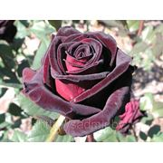 Роза Блэк Бакарра фото
