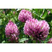Сырье для фармацевтических средств Клевер луговой Клевер луговой цветки фото
