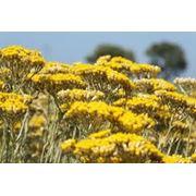 Цветы бессмертника (Украина) купить (продажа) оптом; Цена лучшая в Украине фото