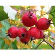 Плоды боярышника фото
