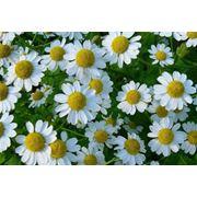 Цветы ромашки Ромашка Лекарственная фото