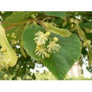 Цветы липы Липа сердцелистная Соцветия липы сердцелистной фото