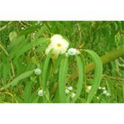 Листья эвкалипта Эвкалипт шаровидный фото