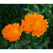 Цветы календулы Календула купить Календула сушенная фото